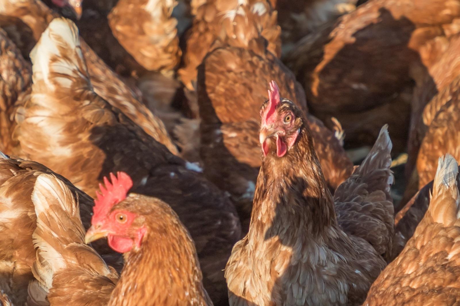Billede af høns 01
